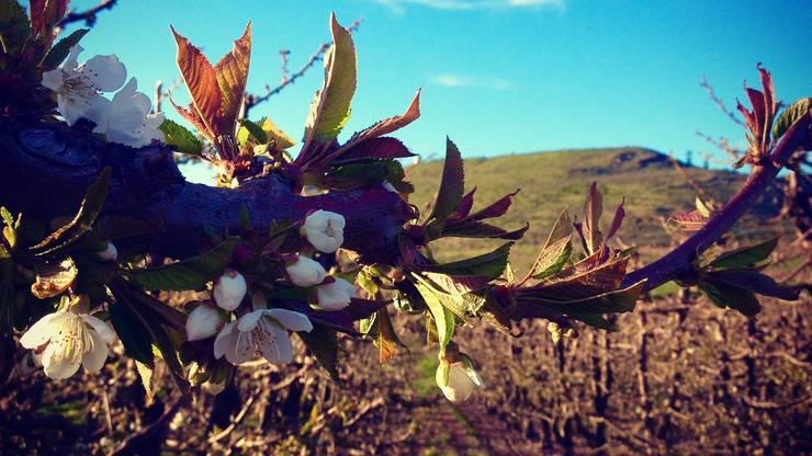 In Manson hat das Aargauer Ehepaar eine Plantage mit 200 Apfelbäumen aufgebaut. Die Wurzeln der Bäume werden nun immer wieder von Maulwürfen angeknabbert.