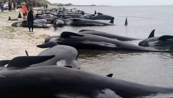 Helfer versuchten, die Tiere wieder in tieferes Wasser zu ziehen - meist jedoch ohne Erfolg.
