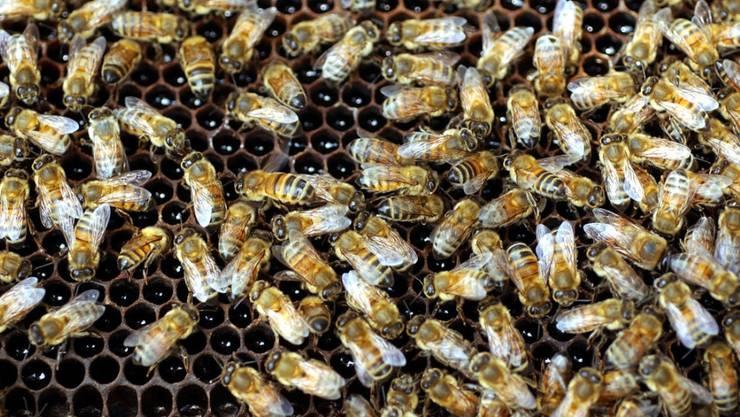 Neonikotinoide stehen im Verdacht, mitverantwortlich für das Bienensterben zu sein. Forscher haben diese Pestizide nun in drei Viertel des weltweit produzierten Honigs nachgewiesen.