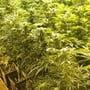Die Polizei fand über 1000 Pflanzen in der Indooranlage.