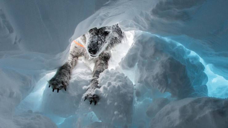 Ein Suchhund hat in La Plagne in den französischen Alpen rund eine Stunde nach einer Lawine einen verschütteten Knaben lebend gefunden. (Themenbild)