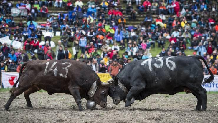Die kampfeslustigen braun-schwarzen Kühe lockten rund 12'000 Schaulustige nach Aproz.