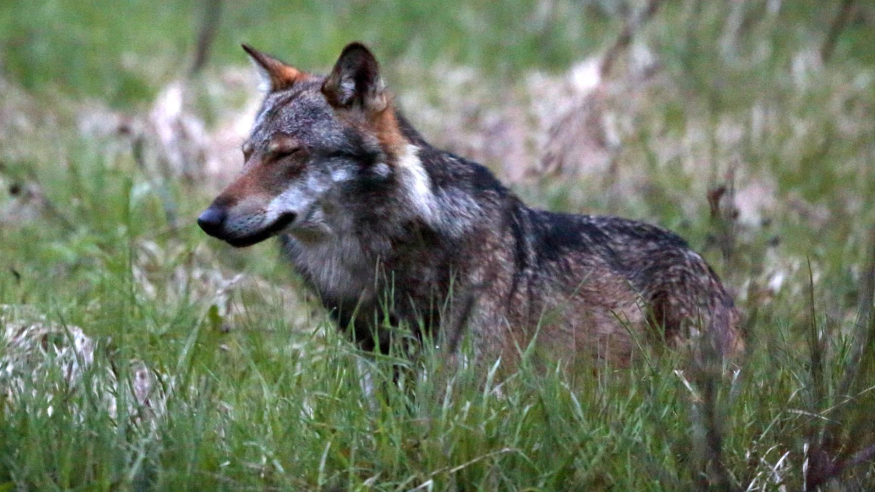 Zur genauen Bestimmung des Wolfes wurde eine DNA-Probe entnommen. (Symbolbild)