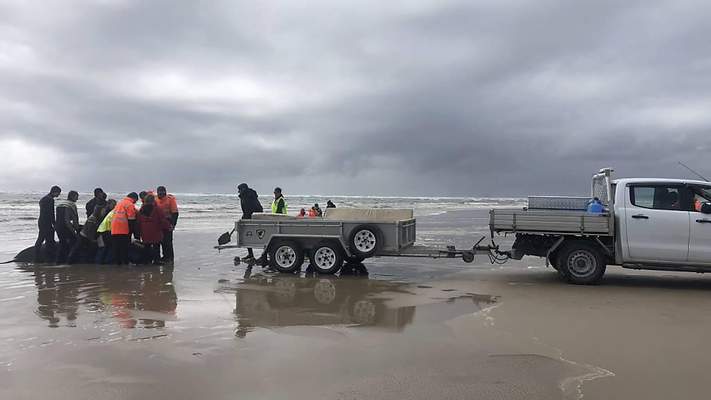 Über 100 Wale nach Massenstrandung in Australien gerettet