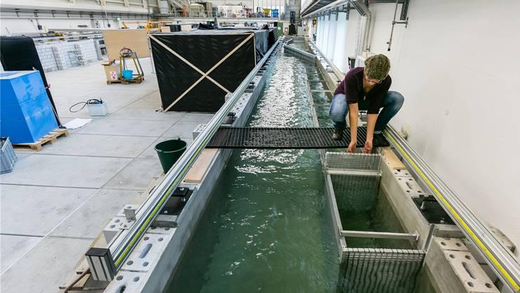 Los gehts: Die Fischökologin Tamara Boss zieht das Startgitter des ETH-Versuchskanals hoch.Balz Murer