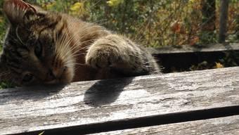 Die Schmeichel-Katze