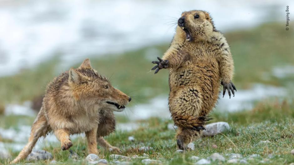 Murmeltier und Fuchs