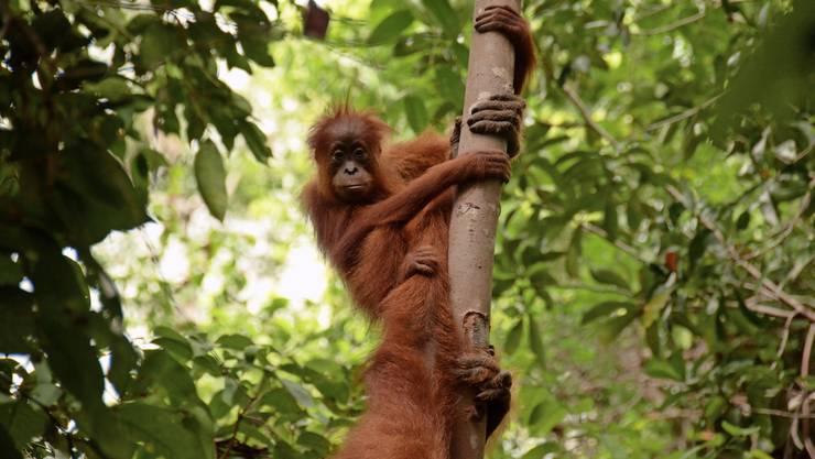 In Suaq auf der Insel Sumatra studieren die Forscherteams nicht nur, wie junge Orang-Utans lernen,...
