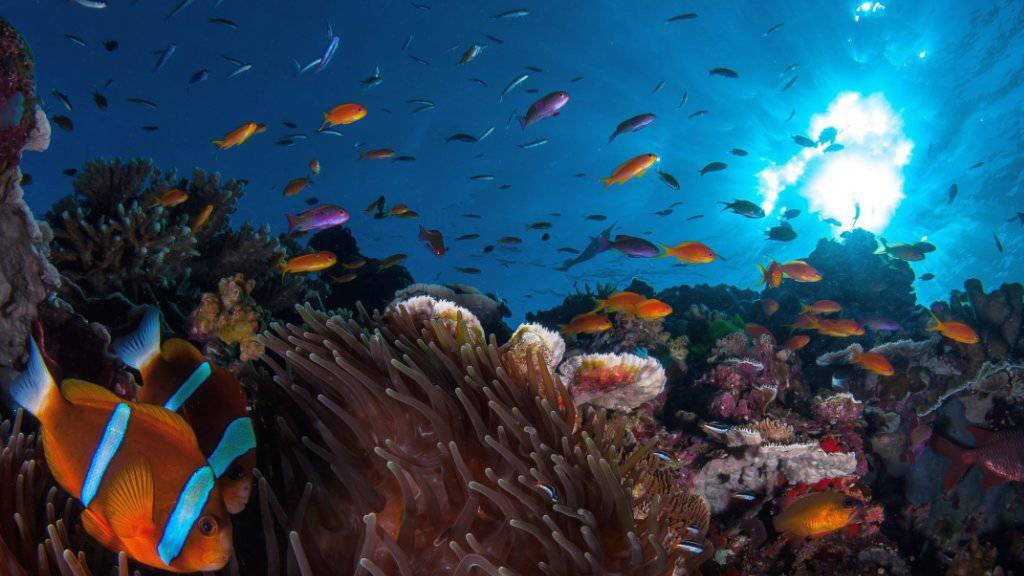 Mit einem milliardenschweren Aktionsplan will Australien die beispiellose Korallenbleiche über Hunderte Quadratkilometer am Great Barrier Reef lindern. (Archivbild)