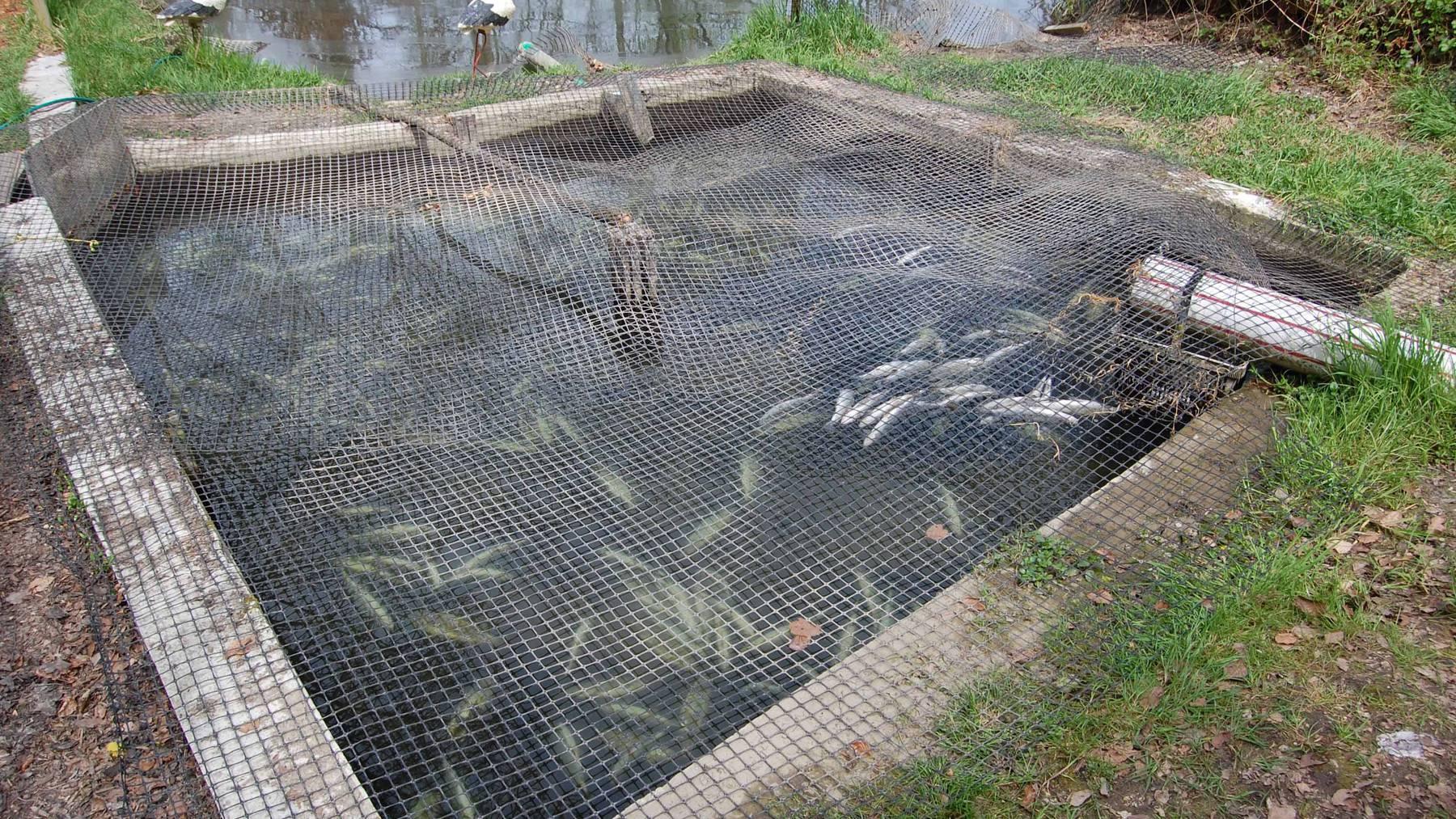 Ebikon: Mehrere hundert Fische tot