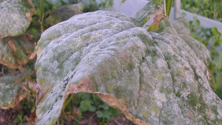 So sieht echter Mehltau bei Gurkenstauden aus: Gelbe Blattflecken auf der Blattoberseite, weisser oder grauer Sporangienbelag auf Blattunterseite