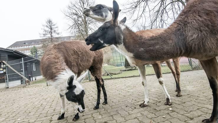 Im Liestaler Tierpark Weihermätteli leben Lamas.