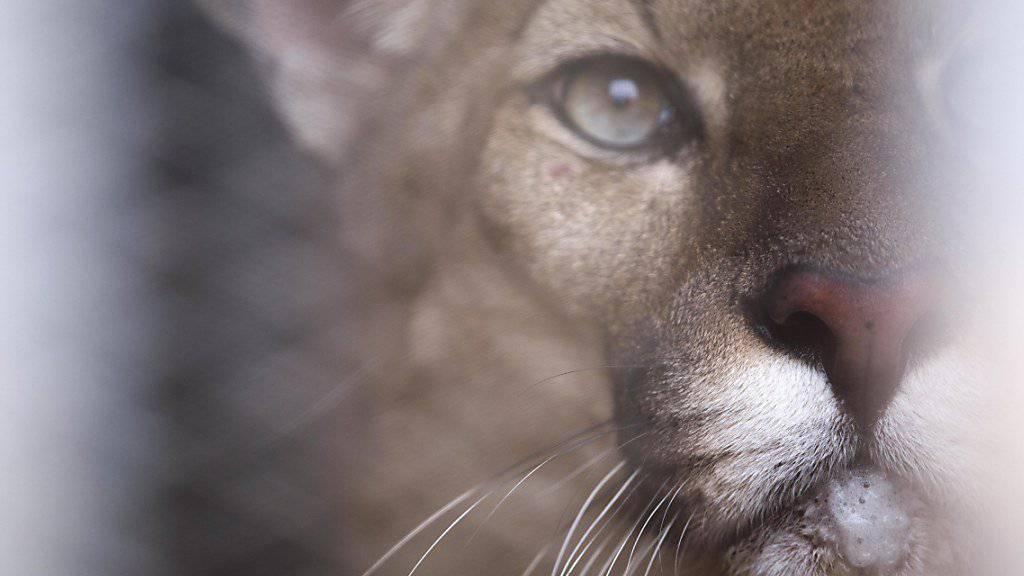 Puma überlebt Autobahnen