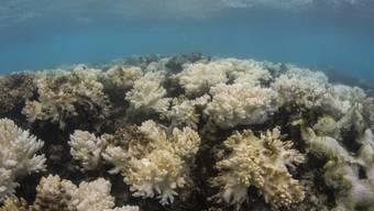 Durch die Korallenbleiche - vermutlich wegen überhöhter Temperaturen infolge des Klimawandels - verendeten rund 30 Prozent der Korallen am Great Barrier Reef. (Archivbild)