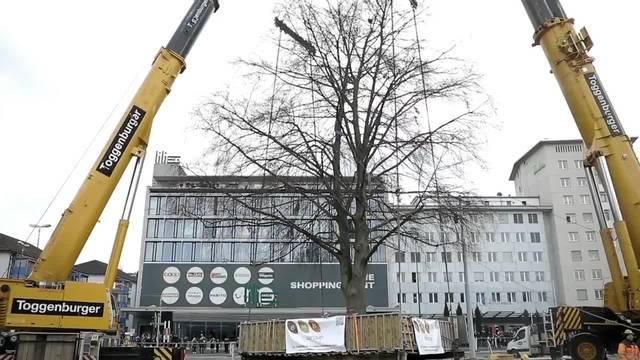 Rotbuche in Schlieren um 170 Meter versetzt