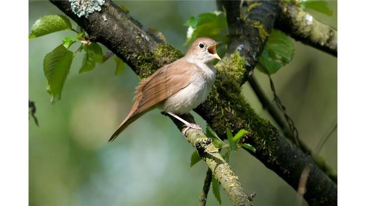 Der kunst- und klangvolle Gesang der Nachtigall kommt am besten zur Geltung, wenn die Männchen in der nächtlichen Stille um die Wette singen. Sie locken damit Weibchen an, die mehrere Tage nach den Männchen aus den afrikanischen Winterquartieren zurückkehren. Nach der Verpaarung singen die Männchen nur noch tagsüber, vor allem um ihr Revier zu verteidigen. Im Kanton Zürich gibt es rund 65 Sänger. Da es einen hohen Anteil unverpaarter Sänger gibt ist teils Polygynie möglich.Der Bestand nimmt zu, das Areal der Vögel ab.