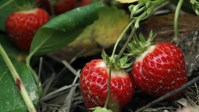Tonnenweise Erdbeeren reifen dieser Tage auf Schweizer Feldern