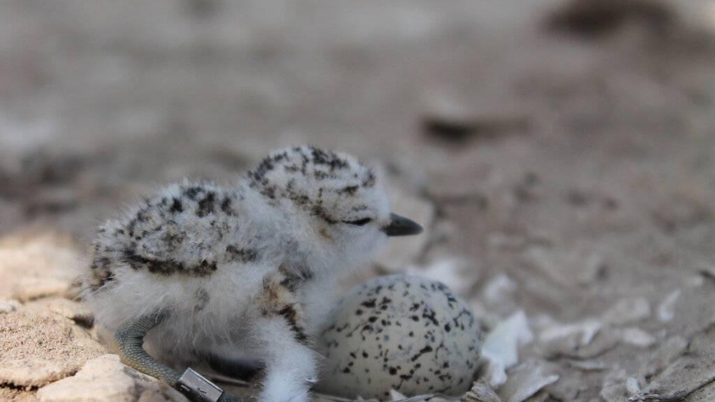 Bei Schneeregenpfeiffern gelten traditionelle Rollenklischees nicht: Männchen ziehen den Nachwuchs meistens alleine gross, während die Weibchen bereits eine neue Familie gründen. (Pressebild)