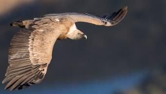 Der Gänsegeier ist mittlerweile ein regelmässiger Sommergast in der Schweiz. Mit bis zu 2,6 Meter Flügelspannweite gehört der Greifvogel zu den grössten Vögeln Europas.