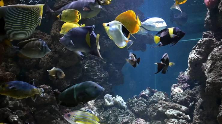 Der Sattelfleck-Falterfisch ist fast weiss mit gelbem Maul und einem schwarzen Fleck auf dem Rücken.