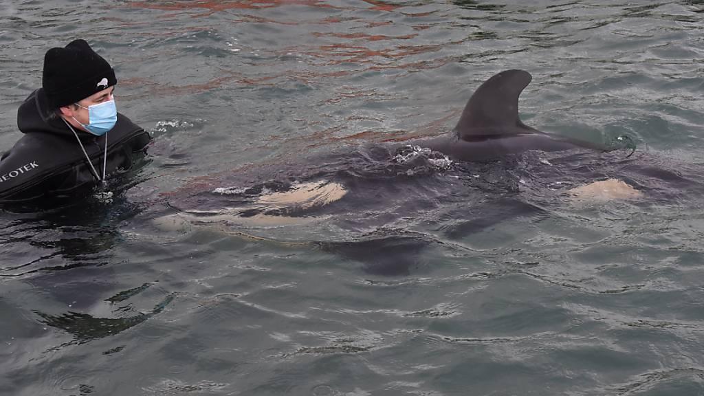Orca-Baby strandet vor Neuseeland: Verzweifelte Suche nach der Herde