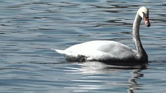 Schwäne mit Trauerrändern: Am Genfersee versuchen Feuerwehr, Fischereiaufseher und die Seepolizei die Verschmutzung einzudämmen.