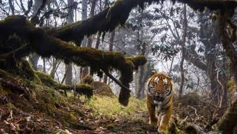 Der WWF setzt sich für den Schutz von Tieren ein. Die Umweltorganisation sieht sich aktuell mit schweren Vorwürfen konfrontiert: Vom WWF unterstützte Wildhüter sollen verdächtige Wilderer misshandelt haben. (Archivbild)