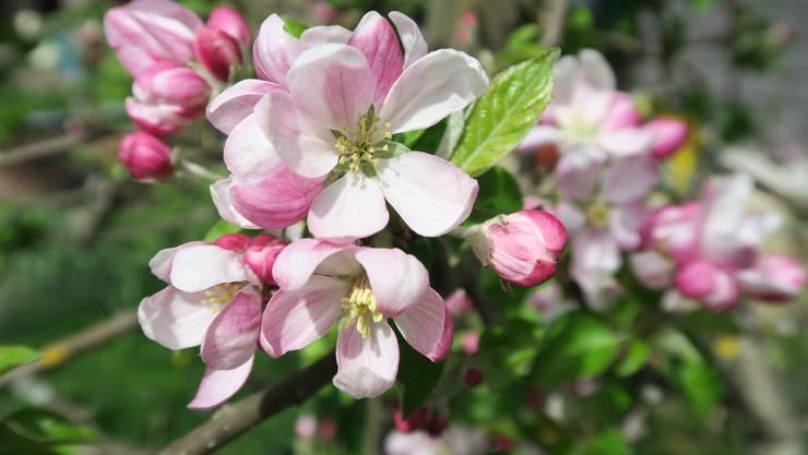 Zarte Apfelblüte