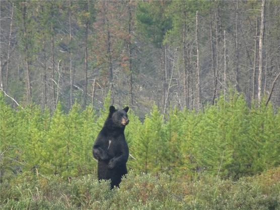 Begegnungen mit Schwarzbären gehören dazu.