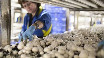 Pilze wachsen im luzernischen Wauwil auf einem Substrat aus Pferde- und Hühner-Dung. Die Landwirtschaft geniesst in der Schweiz einen hohen Stellenwert. Die beiden Agrar-Initiativen gingen dem Volk jedoch zu weit. (Archivbild)
