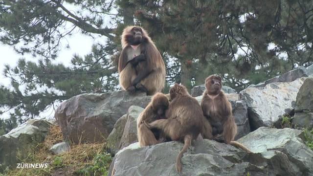 Affentheater im Zoo Zürich