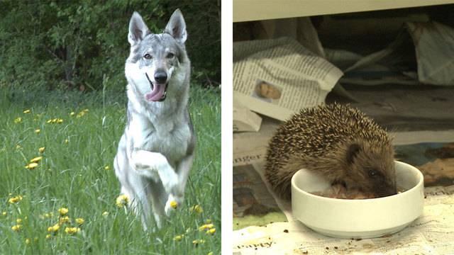 Hund oder Wolf? — Igel gefunden – was nun?