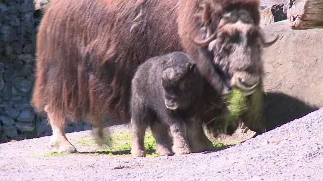 Moschusochsen Nachwuchs im Tierpark Dählhölzli