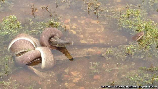 Die Schlange umzingelte das Krokodil