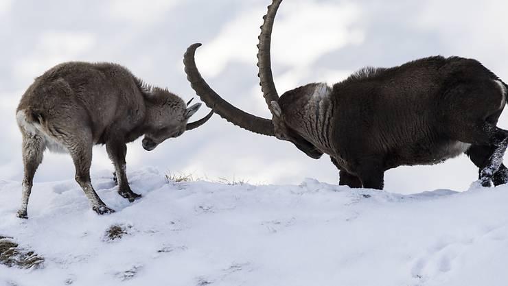 Jäger bevorzugen starke Tiere mit langen Hörnern: Auf die Steinbockkolonien hat sich diese Vorliebe allerdings gemäss einer Studie nicht negativ ausgewirkt. (Archivbild)