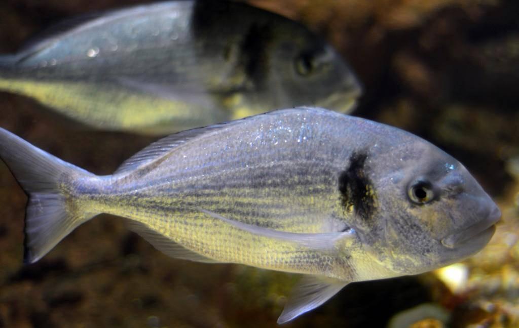 Ein Weissfisch und eher unbeliebt: Die Brachsme.
