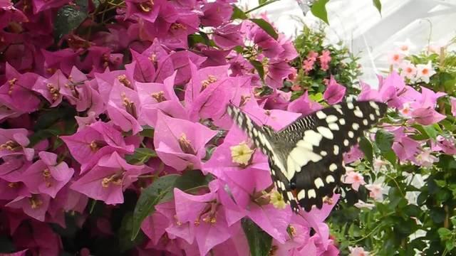Von Ende Juni bis Ende August flattern Schmetterlinge im Gartencenter Wyss in Zuchwil umher