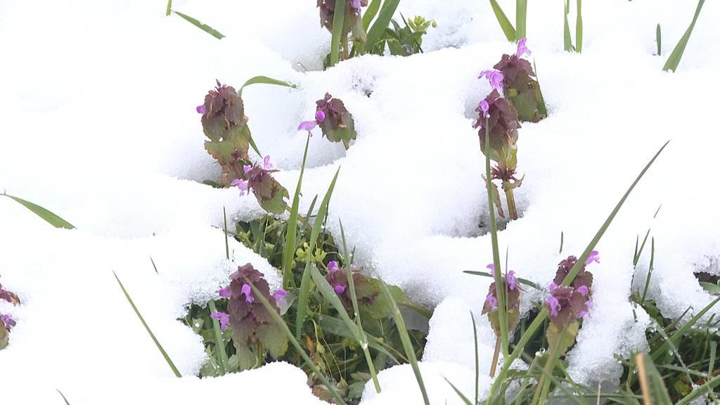 Wintereinbruch im April: Gefahr für viele Pflanzen