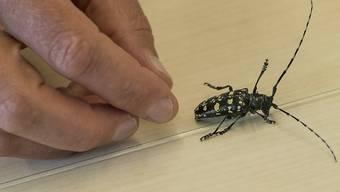 So sieht der Käfer aus Asien aus.