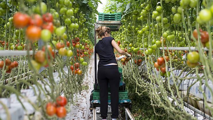 Flüchtlinge und vorläufig aufgenommene Asylsuchende sollen beispielsweise bei Gemüsebauern arbeiten können (Symbolbild)