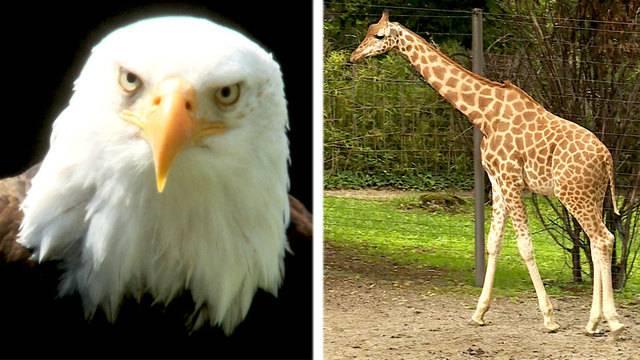 Faszination Greifvögel / Welt-Giraffen-Tag