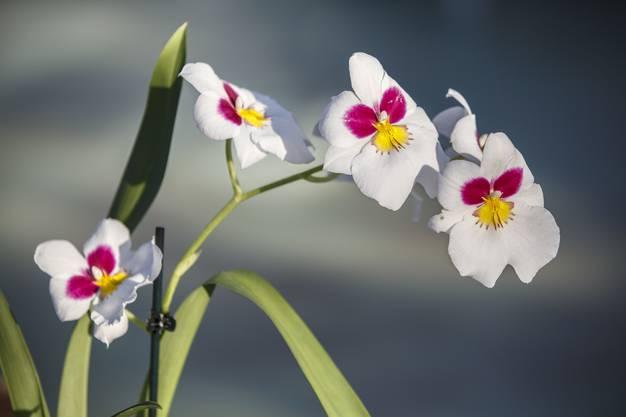 Miltonia Hybride MIX Orchidee