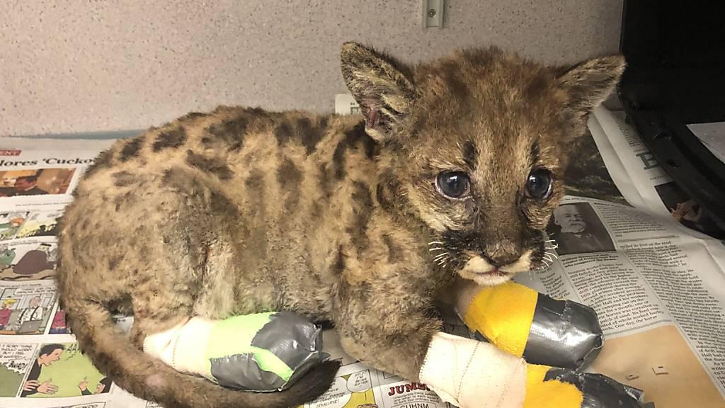 Puma-Baby «Captain Cal» überlebt Feuer