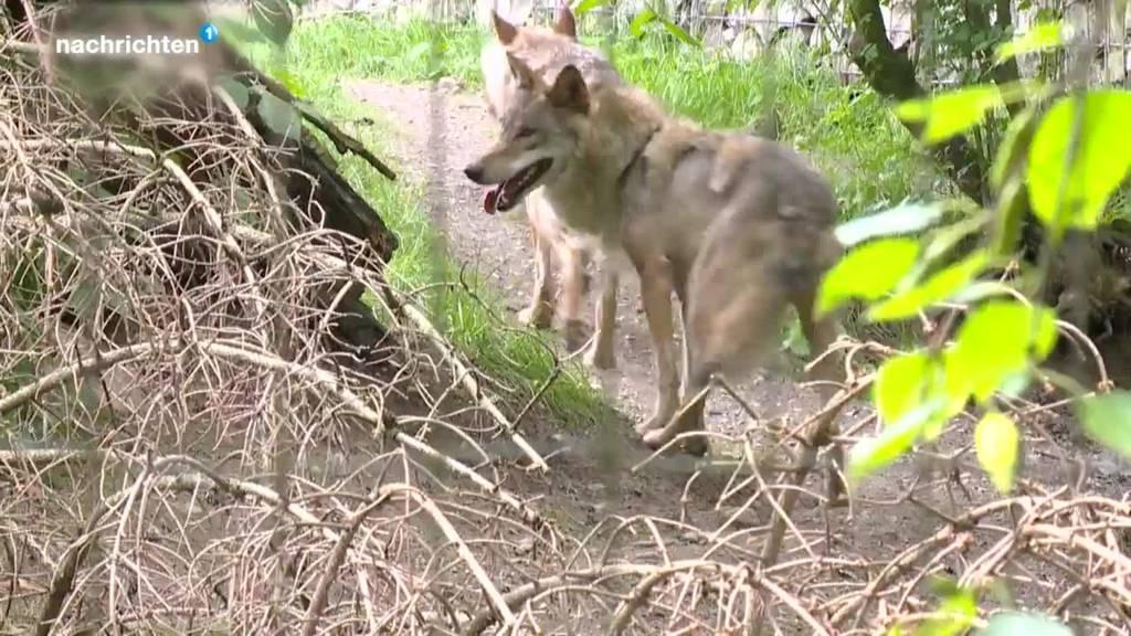 Entwicklung der Wolfsbestände