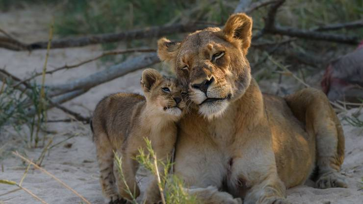 Die Jungen kommen abwechselnd zur Löwenmutter, um diese zu trösten.