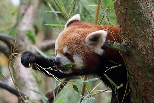 Der Panda holt sich Blätter zur Mahlzeit.