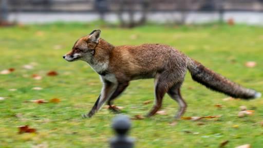 Fuchs jagt in Luzern Hosenbeine