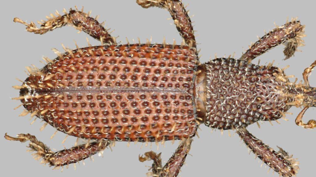 Der lediglich 2,5 Millimeter grosse Rüsselkäfer wurde zu Ehren des Basler Umwelt- und Menschenrechtsaktivisten Bruno Manser «Seticotasteromimus brunomanseri» getauft.