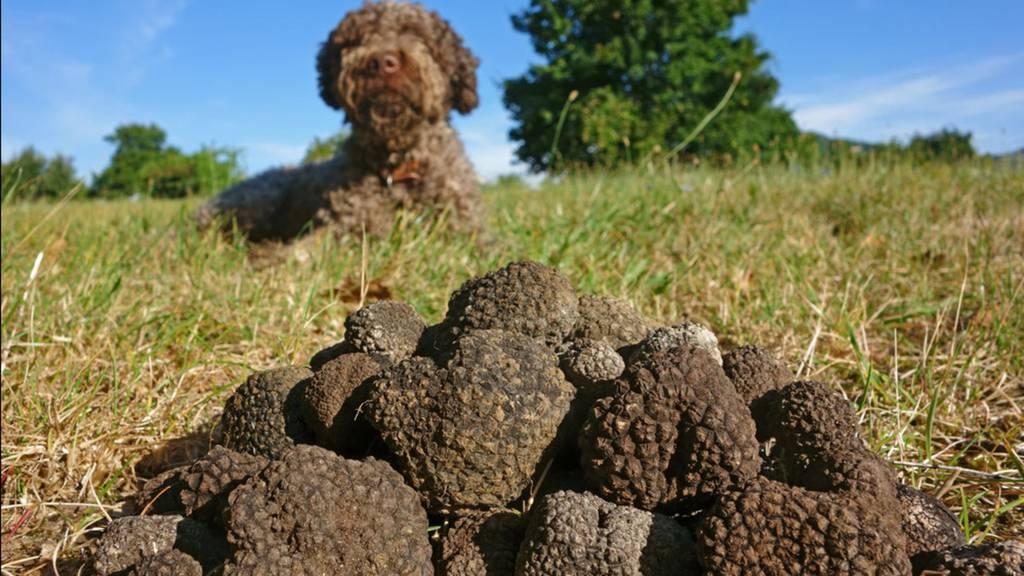 Trüffelsuche: Welche Hunde taugen zum Trüffel-Schnüffler?