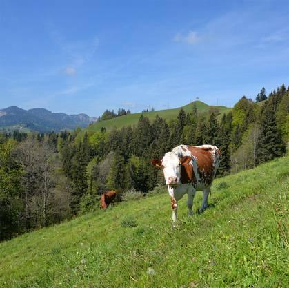 Hier ist die Welt nicht nur für die Kühe noch in Ordnung! Im Hintergrund der Aussichtspunkt Oberlehn mit der markanten Linde.